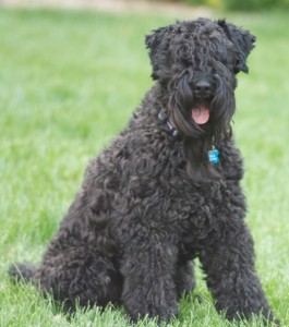 Guthrie – our Kerry Blue Terrier